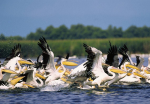 800px-Pelicani_din_Delta_Dunarii