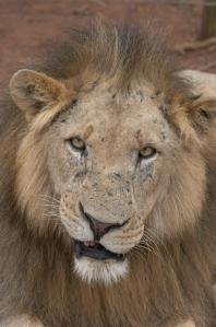 male-lion-1-1407052
